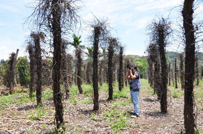 Một vườn tiêu chết vì thuốc trừ sâu rầy giả tại xã Tâm Thắng huyện Cư Jút tỉnh Đắk Nông