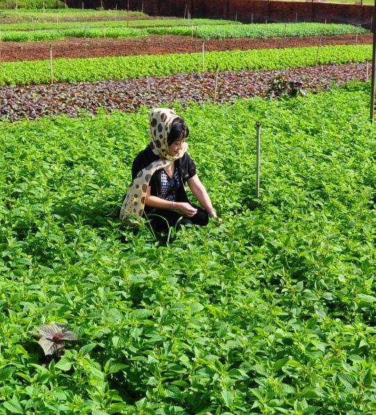 Vườn rau thơm muôn màu ở phường Khánh Xuân