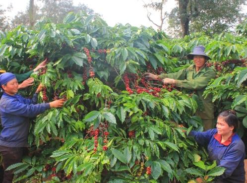 Công nhân hái cà phê chín đều tại Cty cà phê 15