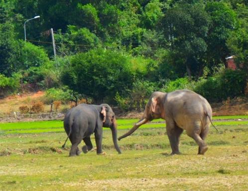 Chàng voi Y Mâm bắt đầu tỏ tình với nàng voi Ban Nang