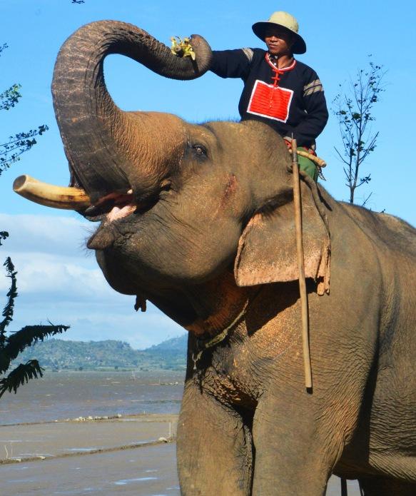 Voi Y Khun với vết dịch động tình đặc trưng giữa mắt và tai được nài voi cho ăn chuối