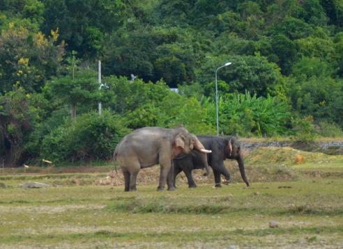 Y Mâm-Ban Nang là đôi voi được ghép cặp thành công đầu tiên trong chương trình cho voi nhà sinh sản